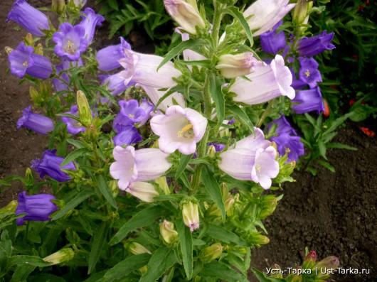 Цветы моего сада - колокольчики