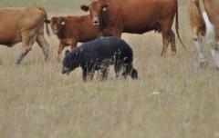 Медведь в Яркуле убил 7 коров, пастух спасся на лошади