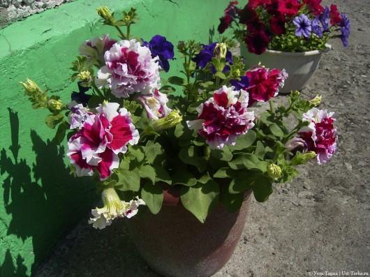 Усть-Таркские цветники