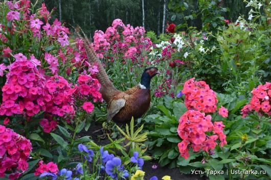 Фазан в нашем огороде